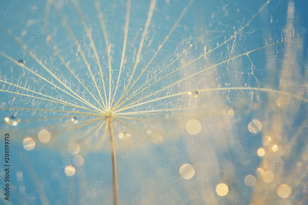 Fototapety, obrazy: rain drops on dandelion, close up