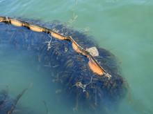 Seaweed Moving In Water.