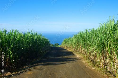 Fotografie, Obraz  La Réunion - Chemin dans la canne à sucre
