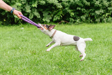 Man Playing Tug-of-war Game With Jack Russell Terrier Dog And Puller Toy