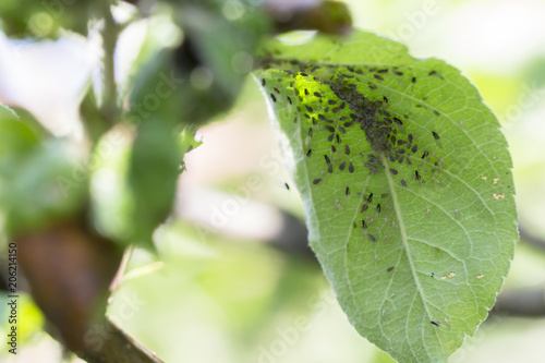 Photo Rosy apple aphids on the inside of the leaf.Agricultural pest