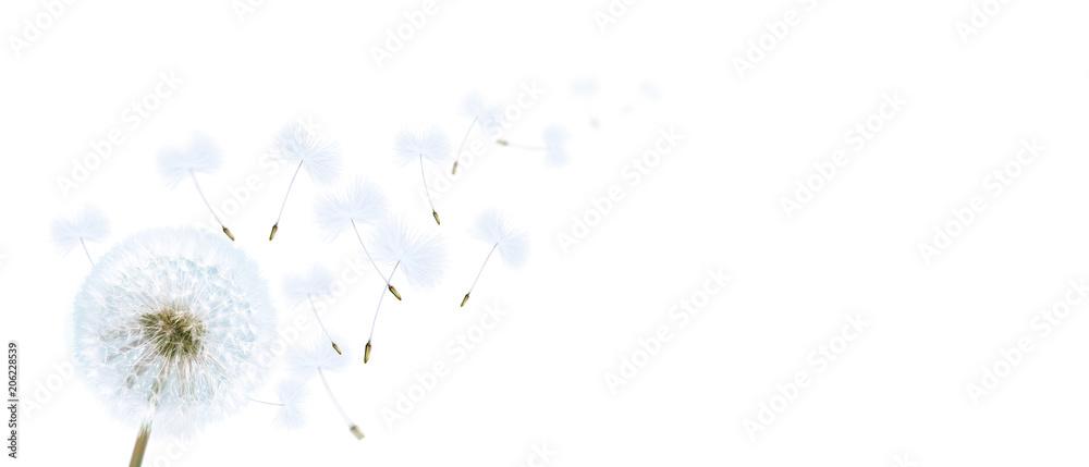 Fototapety, obrazy: Schöne Pusteblume freigestellt