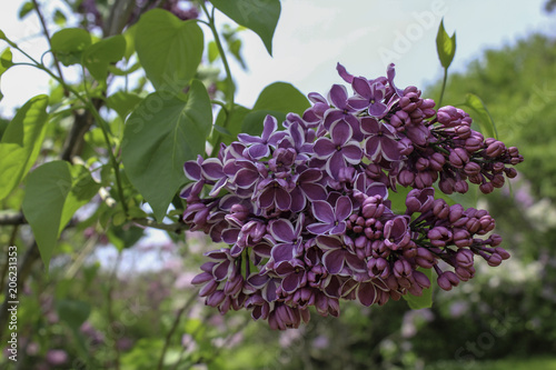 Foto op Canvas Lilac Blooming 'Sensation' lilac. Purple flowers with white edges