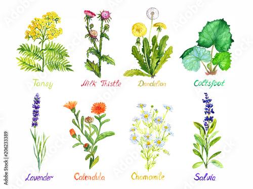 Plakat  Tansy, milk thistle, dandelion, coltsfoot, lavender, calendula, chamomile and sa