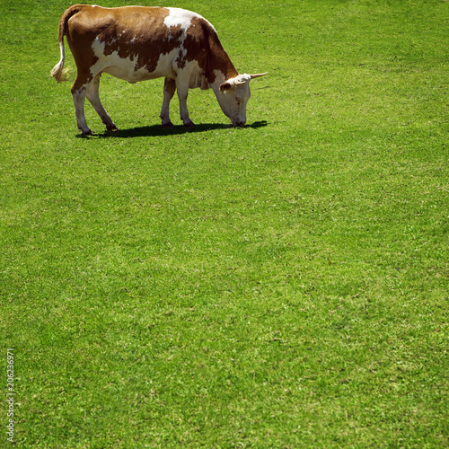 Foto op Canvas Pistache cow eat fresh grass at summer green field