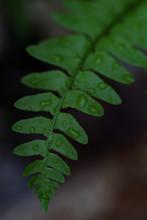 Fern Leaf With Rain Droplets Close-up