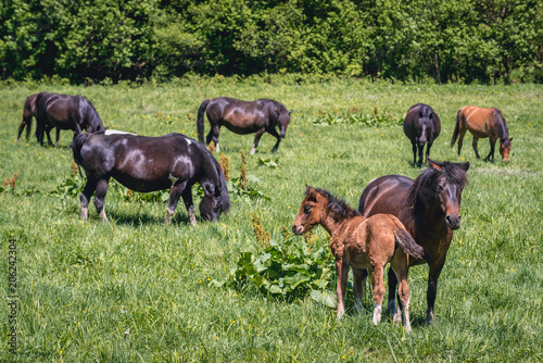 Türaufkleber Pistazie Group of so called Hucul or Carpathian ponies on a green meadow in Bieszczady Mountains National Park, Poland