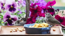 A Young Backyard Bird Feeds Itself With Petunias And Pansies In The Background