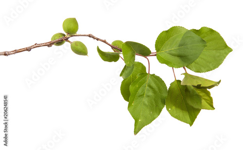 Valokuvatapetti branch of apricot tree with green leaves