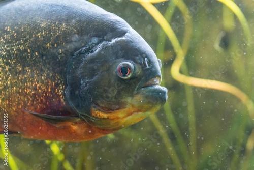 Valokuvatapetti Nahaufnahme eines Piranha in einem Aquarium