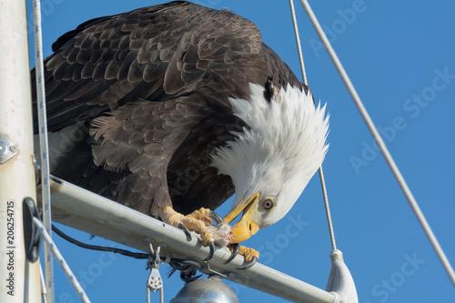 Photo  Bald Eagle eating fish on mast cross bar