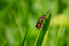 Soldier Beetle (Cantharis) On ...