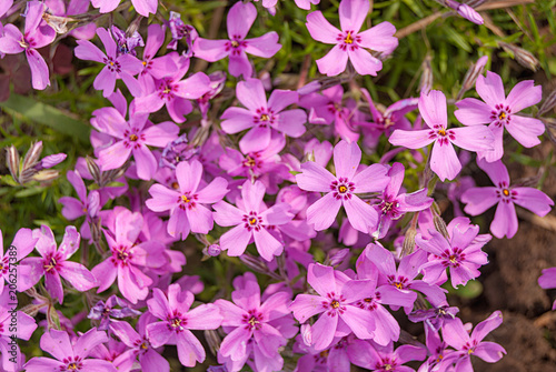 Foto op Canvas Azalea Purple flowers of a styloid phlox in the spring close-up