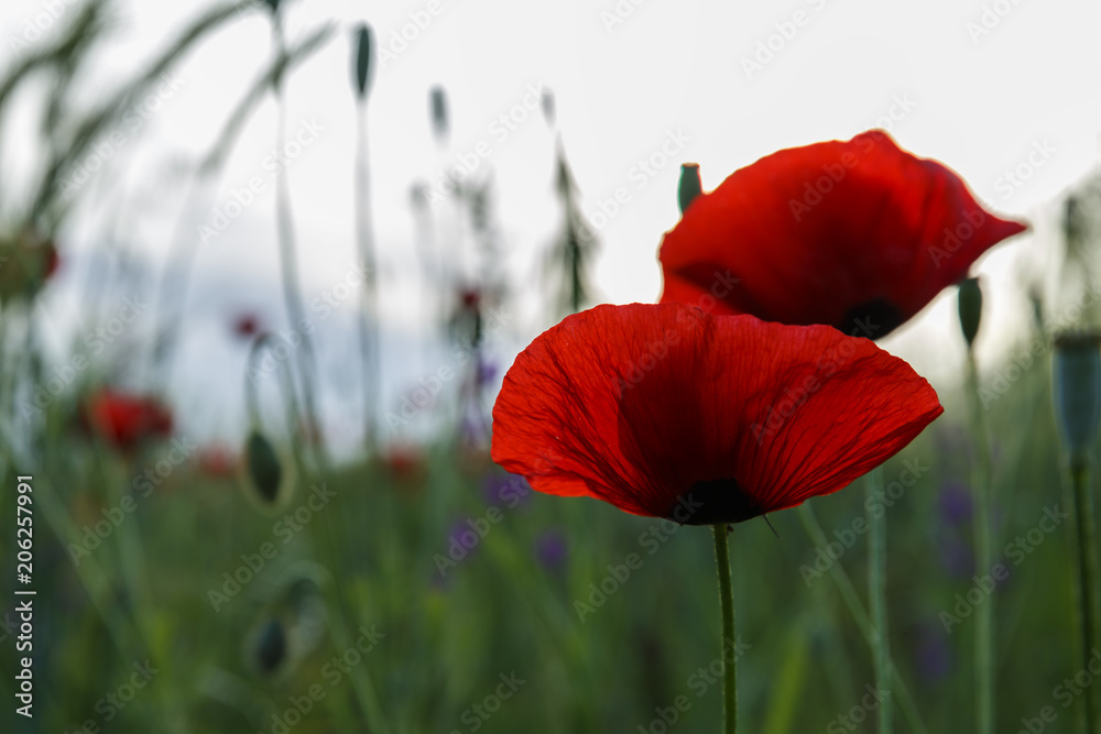 Lonely poppy in the field at dawn
