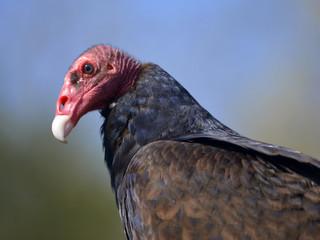 Portrait Turkey vulture (Cathartes aura) on blue sky background