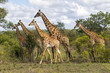 canvas print picture - Giraffes herd in Sabi Sands Private Game Reserve part of the Greater Kruger Region in South Africa