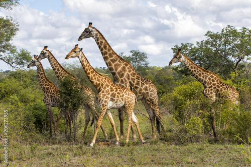 Canvas Print Giraffes herd in Sabi Sands Private Game Reserve part of the Greater Kruger Regi