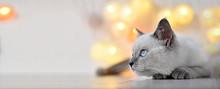 British Kitten Lilac Point Wit...