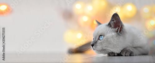 Fototapeta premium Brytyjski kotek liliowy punkt z miejsca na kopię