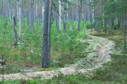 Foto auf Acrylglas Wald im Nebel Fire trench and young pine plantation