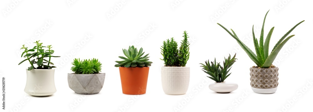 Fototapety, obrazy: Group of various indoor cacti and succulent plants in pots isolated on a white background