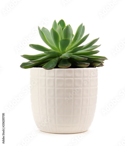 Stampa su Tela Small indoor succulent plant in white pot isolated on a white background