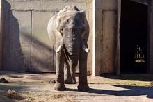 Elefante De Zoo Vista Frontal