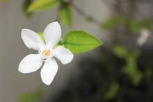 Beautiful Orange Jasmine Flower, White Flower, Orange Jessamine Flower, Beautiful  Flower In The Garden