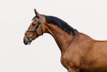 Portrait Of A Bay Horse In The Bridle On Light Background Isolated