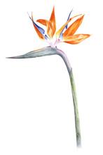 Bird Of Paradise - Strelitzia ...
