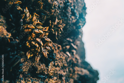 Barnacles on the stones of the beach of Las Catedrales, Spain
