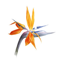 Watercolor Bird Of Paradise Flower