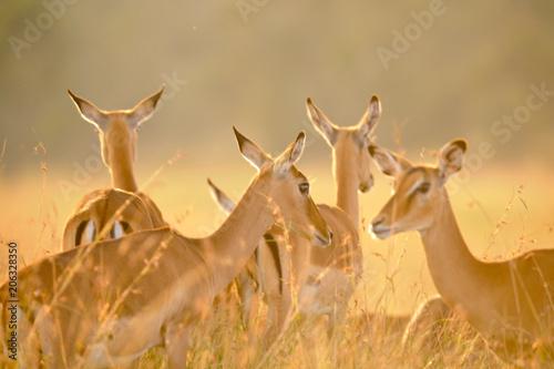 Spoed Foto op Canvas Antilope Voyage Afrique
