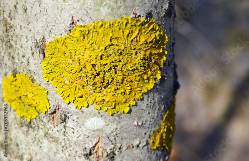 Common orange lichen Xanthoria parietina on the bark of tree trunk in the forest.Yellow scale,maritime sunburst lichen growing on the birch.Selective focus.