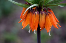 Beautiful Orange Crown Imperia...