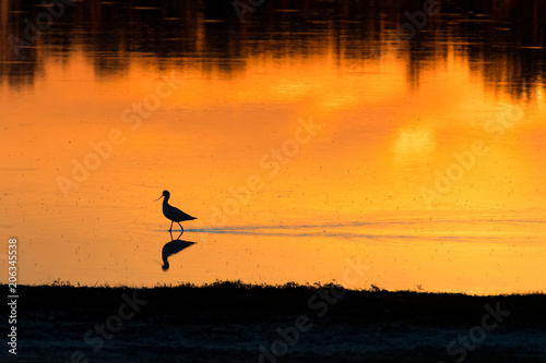 Poster Oranje eclat a lone bird on the shore of a lake in the sunset light, pied avocet