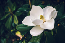 A Large, Creamy White Southern Magnolia Flower Blossom Is Circled By The Glossy Green Leaves Of The Tree.