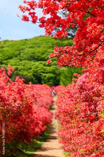 Deurstickers Azalea ツツジが満開の徳仙丈山。気仙沼 宮城 日本。5月下旬。