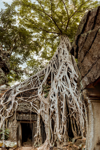 Giant tree and roots in temple Ta Prom Angkor wat - Buy this