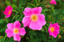 Pink Flowers Dog-rose Or Brier (sweetbrier) Close-up Of A Green Background