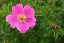 Pink Flowers Dog-rose Or Brier...