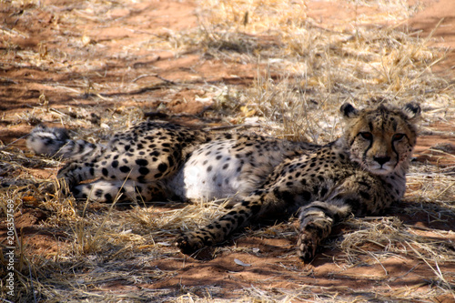 Leoparden in der Wildnis von Afrika