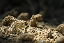 Female Potter Wasp Building He...