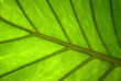 canvas print picture - floral background - surface of a wide green leaf of a tropical plant with natural veins