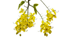 Cassia Fistula Yellow Flowers