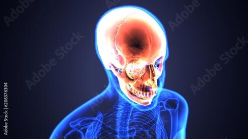 3d illustration of Human Skull Anatomy Diagram | Periodic