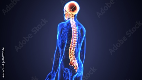 Fotografía  3d illustration of Skull With Spinal Cord Anatomy
