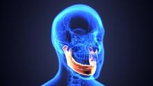 3D Illustration Of Mandible - Part Of Human Skeleton.
