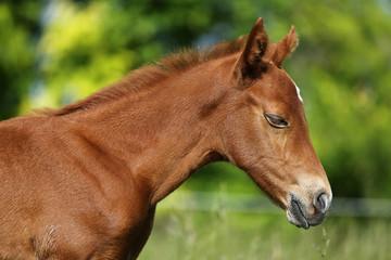 Photo of a newborn foal on summer meadow closeup