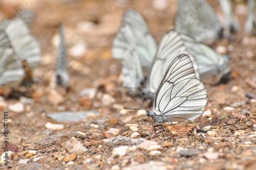 Aporia crataegi, Black Veined White butterfly on the ground Wallpaper Mural